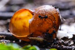 Big ants eat prey by snail in colony, macro close-up Stock Photos