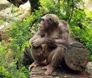 Big ape looking Stock Photography