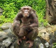 Big ape looking Royalty Free Stock Photo