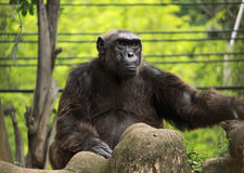 Big ape on the rock Royalty Free Stock Photos