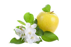 Big apple and apple-tree flowers Stock Images