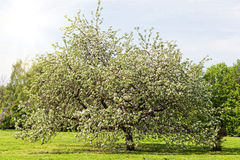 Big apple-tree Stock Images