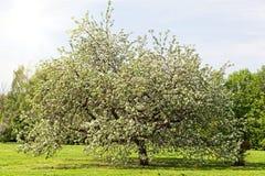 Big apple-tree Stock Images