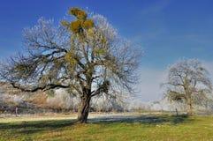 Beautiful big apple tree with mistletoe Stock Photography
