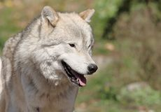 Big arctic wolf Royalty Free Stock Image