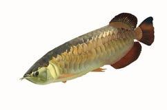 Big asia arowana fish. On white background Royalty Free Stock Images