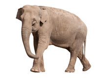 Big Asian Elephant Stock Photo