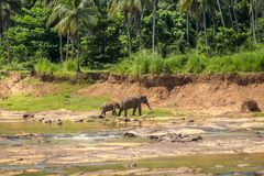 Big Asian elephants at Sri Lanka Stock Photography