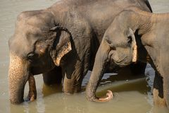 Big Asian elephants at Sri Lanka Royalty Free Stock Image