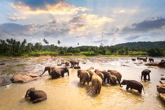 Big Asian elephants at Sri Lanka Stock Photo
