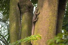 Big Asian Malayan water monitor lizard climbing on tree in Singa Stock Photos