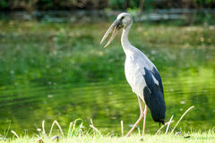 Big Asian Openbill standing in grass Royalty Free Stock Photo