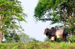 Big asian ox on tropical pasture Stock Photos