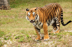 Big Asian Tiger. Tiger sticking out its thong while looking at the crowd in a South Florida zoo royalty free stock photo
