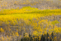 Big Aspen Forest in Fall Royalty Free Stock Photo