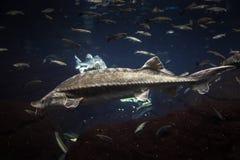 Big Atlantic sturgeon floats in deep blue salt water Royalty Free Stock Photography