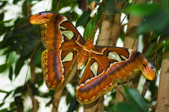 Big Atlas moth or Attacus atlas. Night butterfly Atlas moth or Attacus atlas - biggest butterfly Stock Images