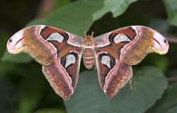Atlas moth butterfly. Big atlas moth butterfly closeup on a leaf royalty free stock images