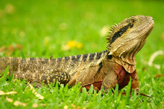 Big Australian Lizard Stock Photos