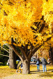Big Autumn Ginkgo tree in a city park Stock Image