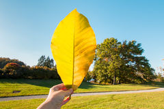 Big autumn leaf in  hand Royalty Free Stock Photo