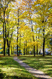 Big autumn maple trees with yellow leaves royalty free stock photography
