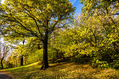 Big autumn oak with yellow leaves Stock Images