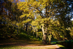 Big autumn oak with yellow leaves Stock Photo
