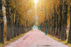 Big autumn poplar in the park - bright autumn landscape of park. Royalty Free Stock Images