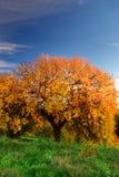 Big Autumn Tree Royalty Free Stock Photography