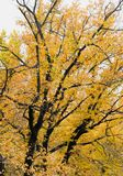 Big autumn tree Royalty Free Stock Images