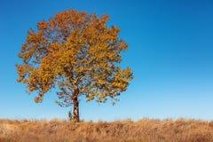 Big autumn tree and deep blue sky Stock Image