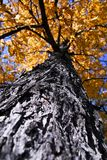 Big autumn tree in fall park Stock Photos