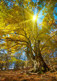 Big autumn tree Stock Photography