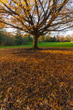 Big Autumn Tree with yellow leaves on the green gr Stock Photography