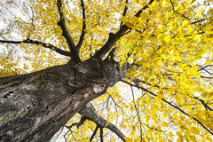 A big autumnal tree Royalty Free Stock Image