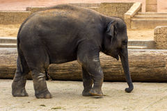 Big Baby. Child elephant walks. Photography of wildlife Stock Photo