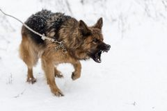 Big bad German shepherd. A big bad German shepherd Stock Images