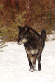 Big bad wolf. A beautiful black wolf with stunning eyes standing in the snow royalty free stock photos