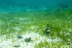 Big marine fish in Togian island Royalty Free Stock Photography
