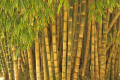Big Bamboo Royalty Free Stock Photos