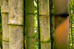 Big Bamboo. Close up from a big Bamboo tree on the island of sulawesi indonesia Royalty Free Stock Photos
