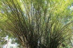 Big bamboo Royalty Free Stock Image