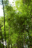 Big Bamboo Stalks! Stock Image