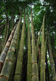 Big Bamboo Tree. In Pang Oung district, Mae Hong Son, North of Thailand Royalty Free Stock Photography