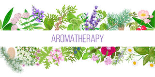Big banner set of popular essential oil plants. Ornament with text aromatherapy. Peppermint, lavender, sage, melissa, Rose, Geranium, Chamomile, oregano etc Royalty Free Stock Images