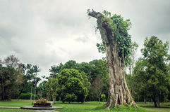 Big Banyan stump Royalty Free Stock Images