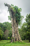 Big Banyan stump Stock Images