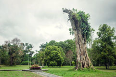 Big Banyan stump Stock Photo