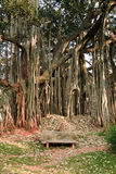 Big banyan tree. Park bench in front of the big banyan, near bangalore Stock Image